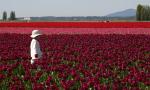 5 dicas de como fotografar as tulipas na Holanda