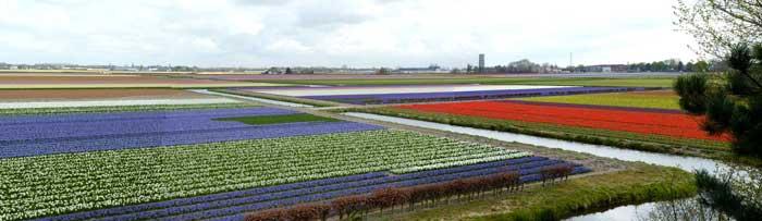 campos_tulipa_holanda