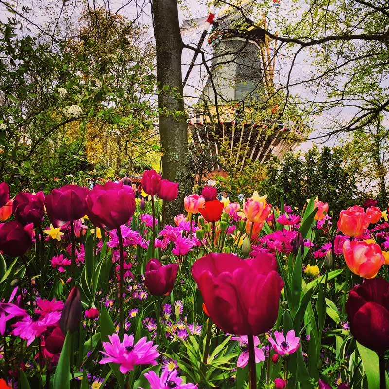 Excursão moinho e tulipas com guia brasileiro