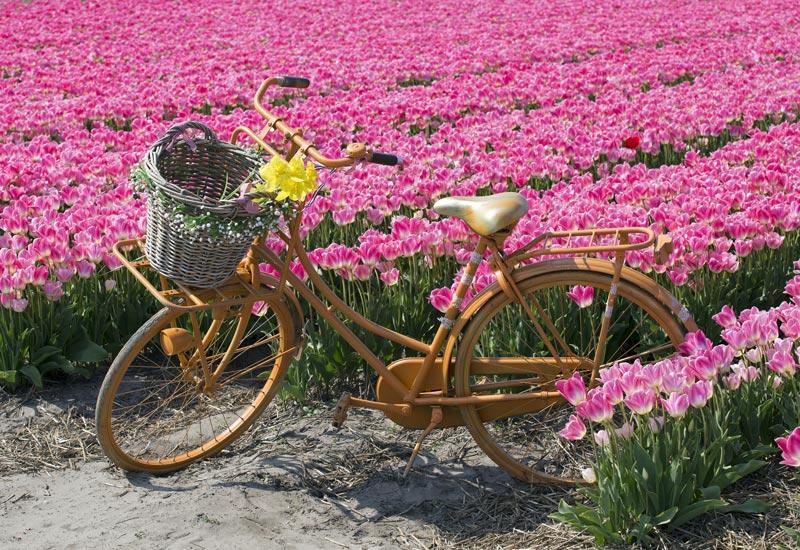 Passeio de bicicleta nos campos de tulipa na Holanda